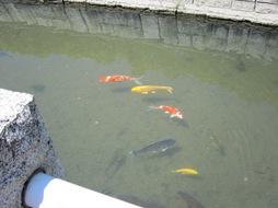 弁天川の錦鯉2