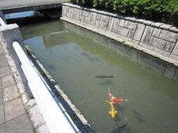 弁天川の錦鯉