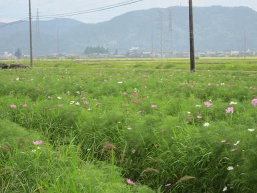 鯖江市定次町のコスモス畑
