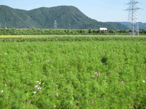 鯖江市定次町のコスモス畑2011年9月8日