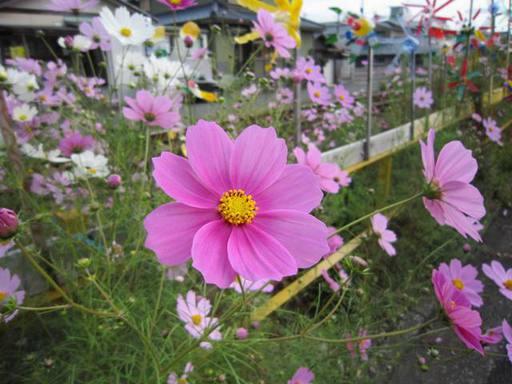 鯖江市住吉町線路沿いのコスモスと風車