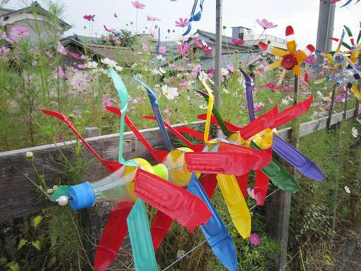 鯖江市住吉町線路沿いのコスモスと風車6