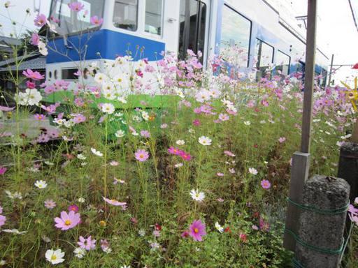 鯖江市住吉町線路沿いのコスモスと風車7