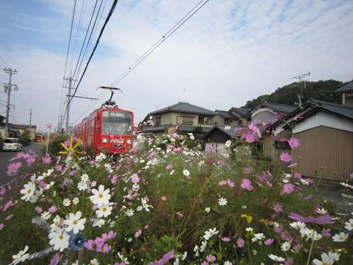 鯖江市住吉町線路沿いのコスモスと風車8